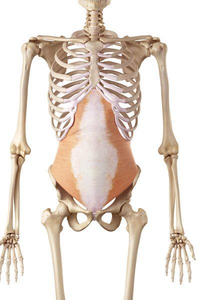 Musculus transversus abdominis - sportbachelor