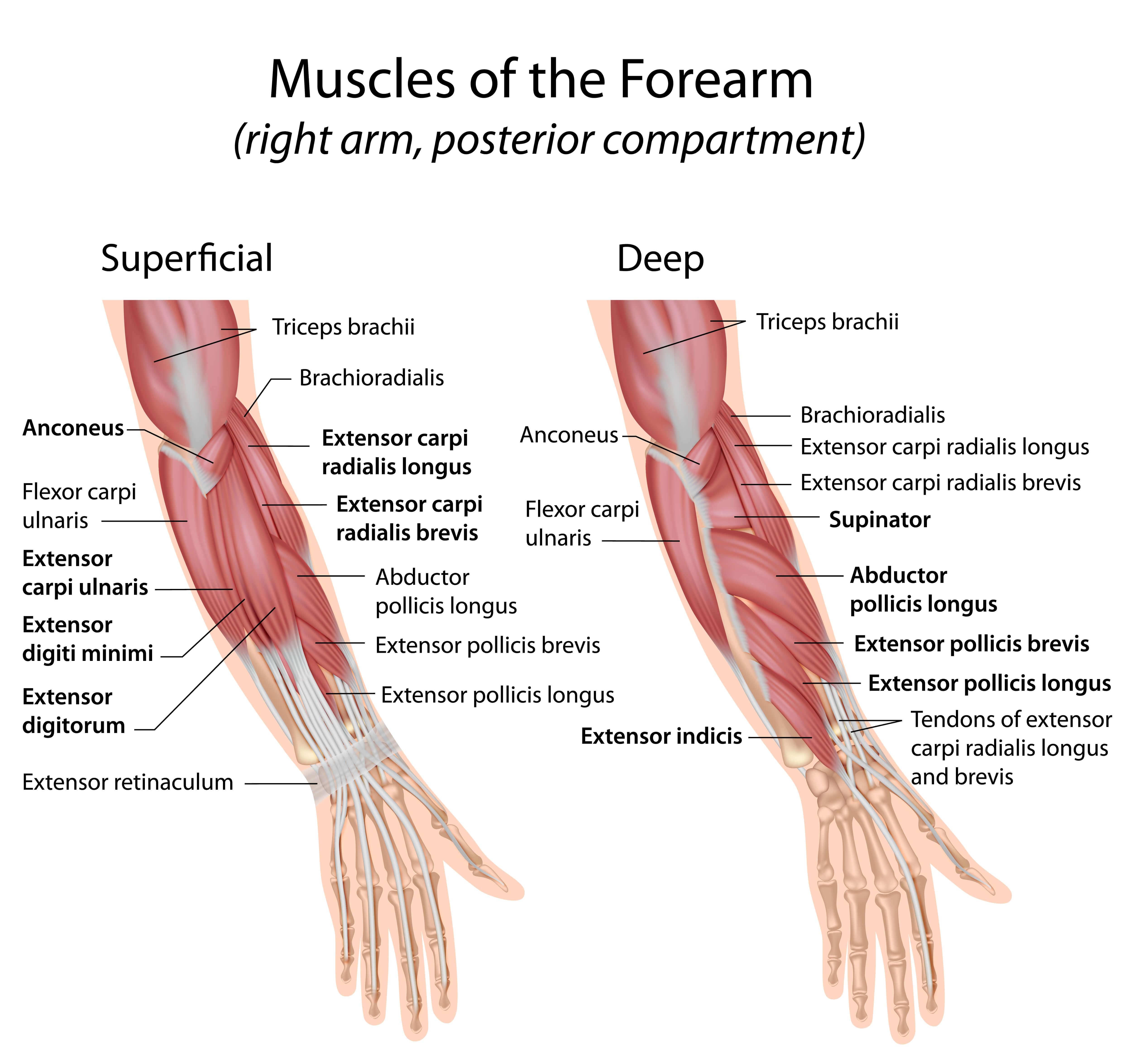 Fein Muskeln Des Unterarms Fotos - Menschliche Anatomie Bilder ...