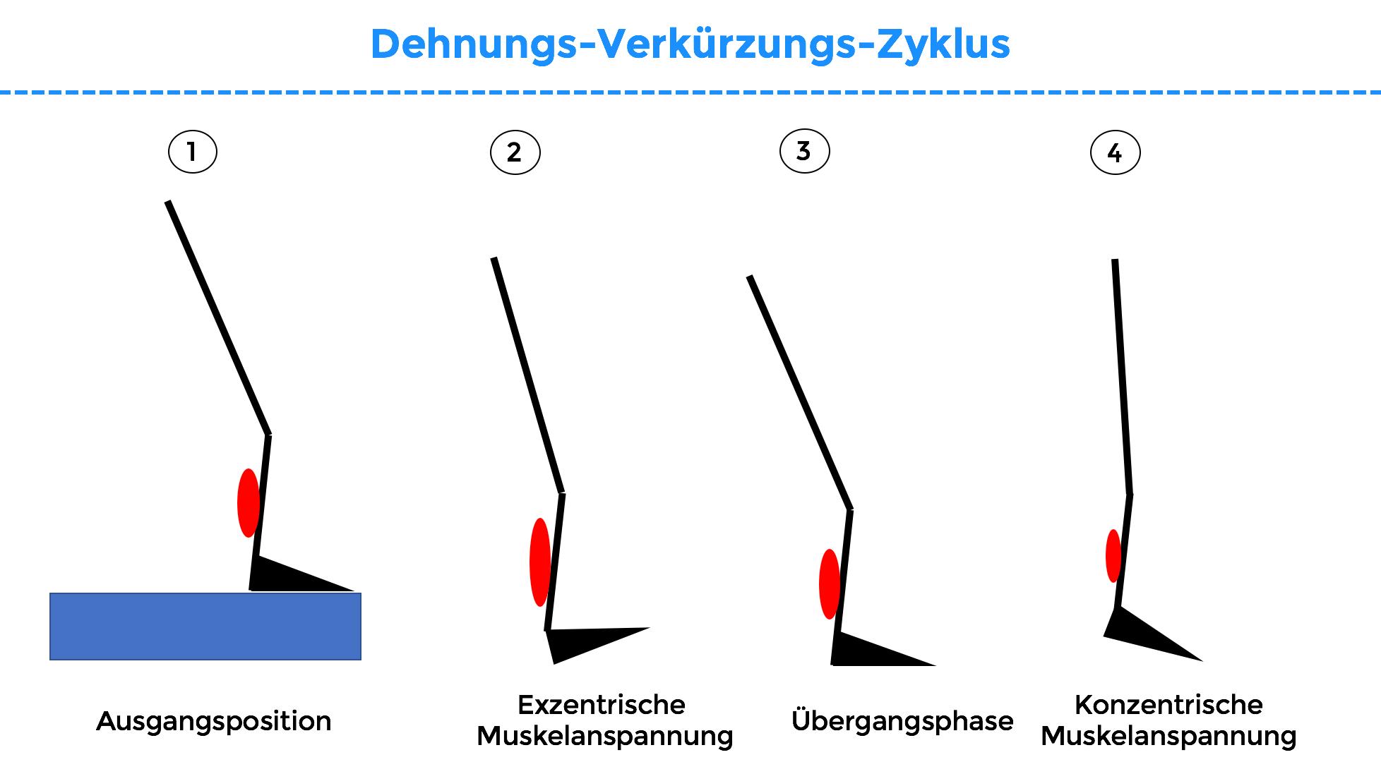 dehnungs-verkürzungs-zyklus