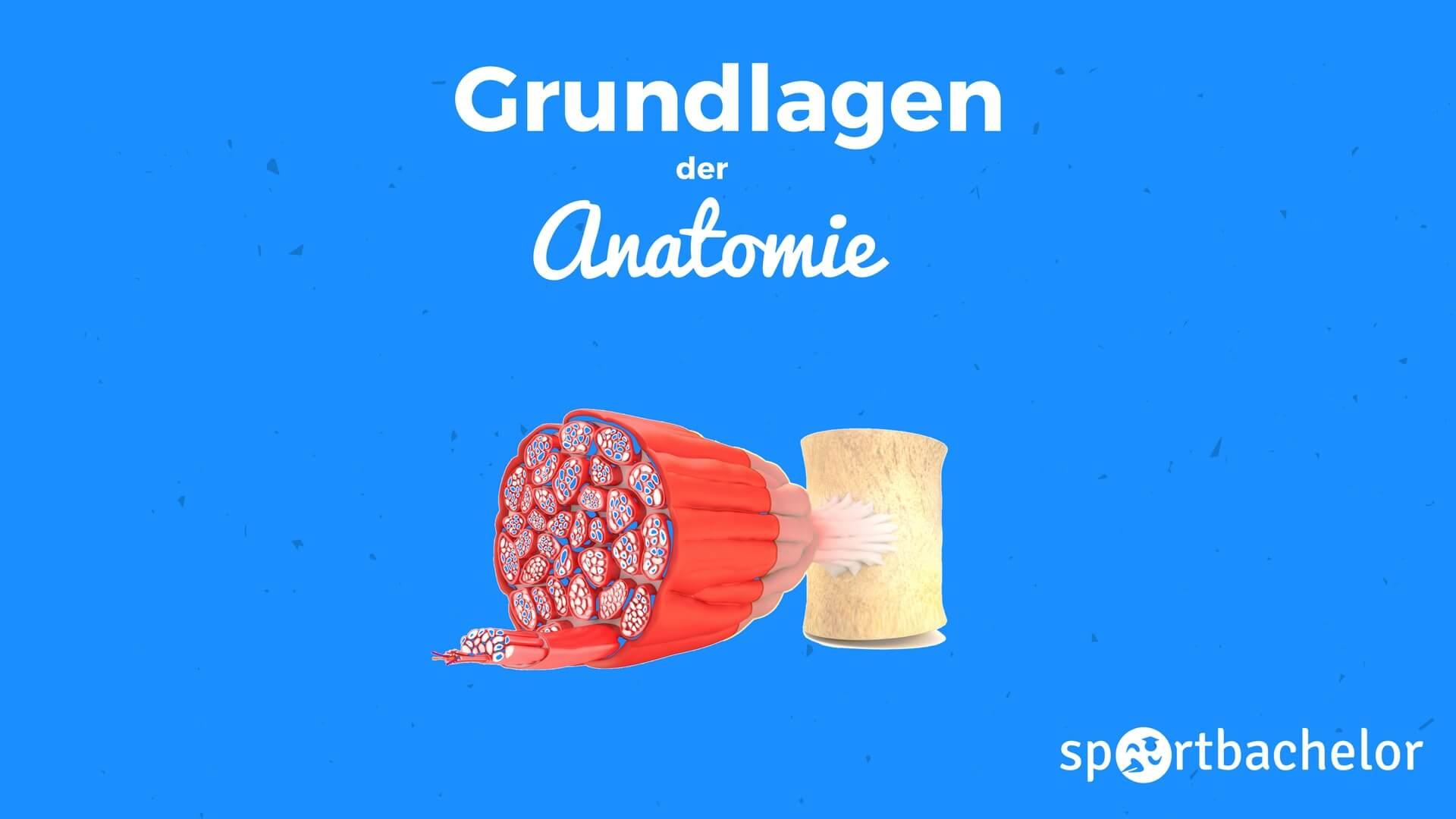Anatomie - sportbachelor